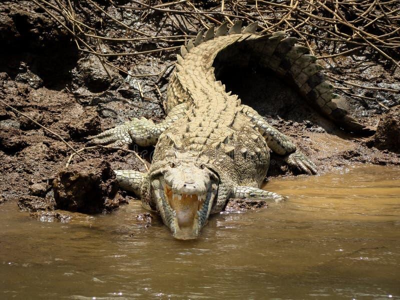 Crocodile Costa Rica image libre de droits