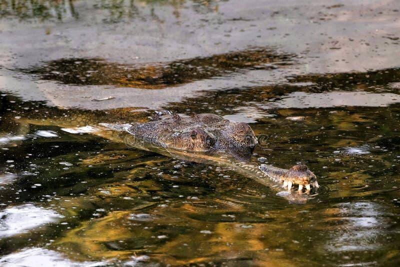 crocodiled'agresseuret x28 ; Palustris& x29 de Crocodylus ; image stock
