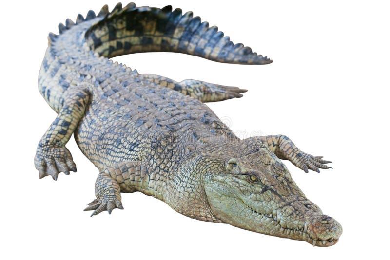 Crocodile d'or d'isolement photos libres de droits