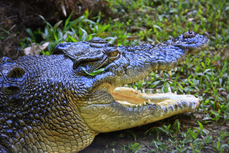 Crocodile d'eau de mer, Australie photos stock
