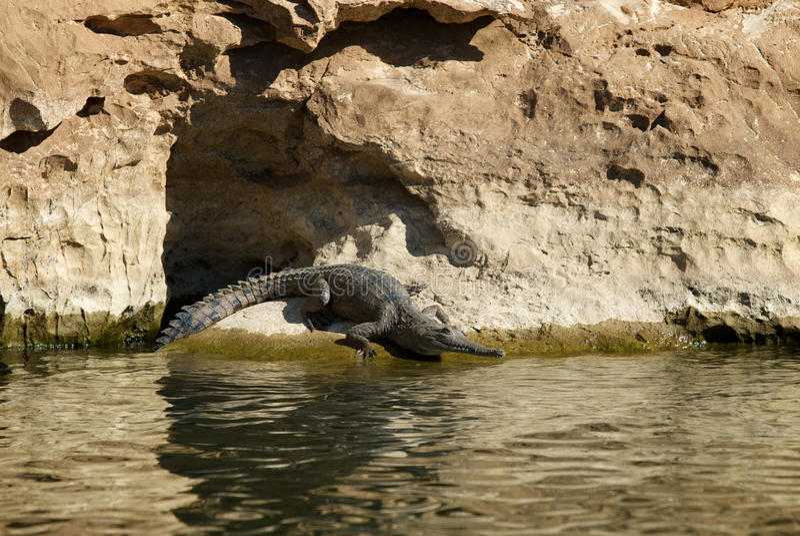Crocodile d'eau douce photos stock