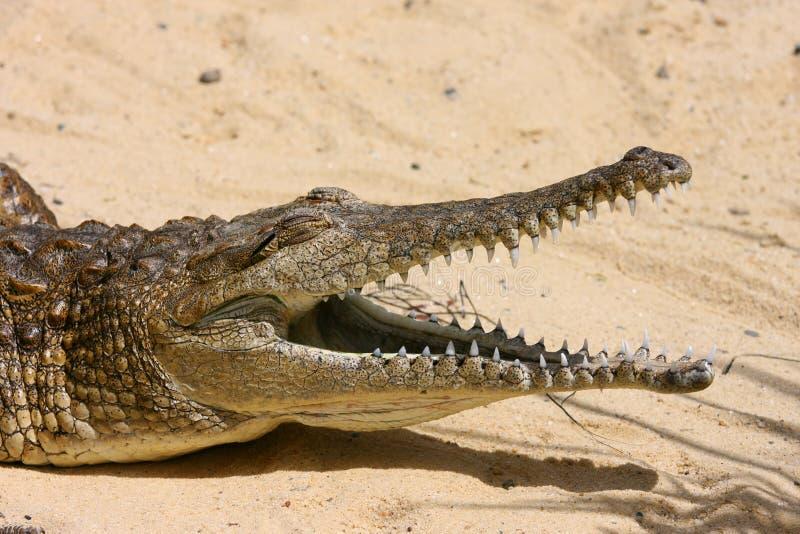 crocodile d'eau douce images libres de droits