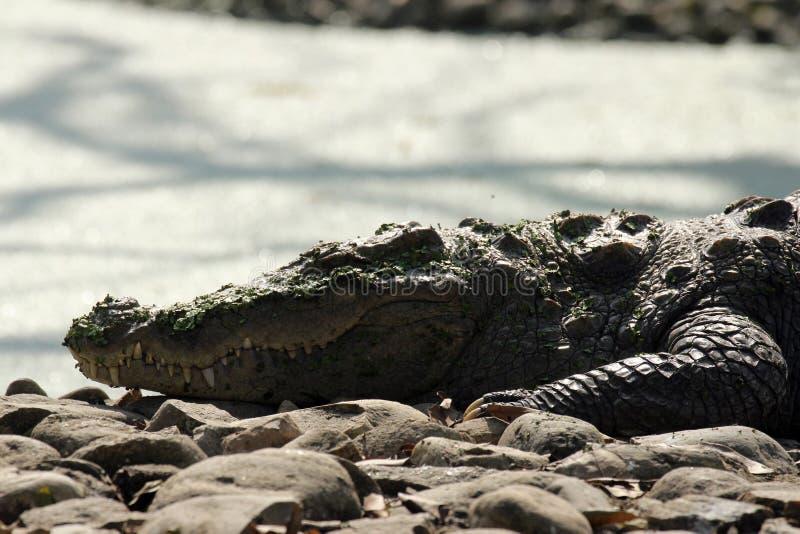 Crocodile d'eau douce photos libres de droits