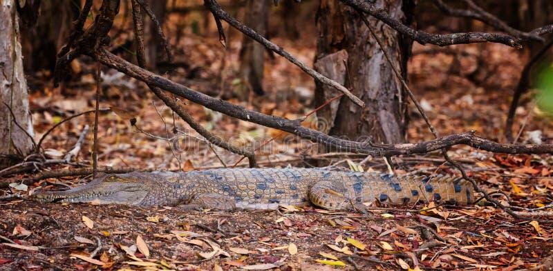 Crocodile d'eau douce australien photo stock
