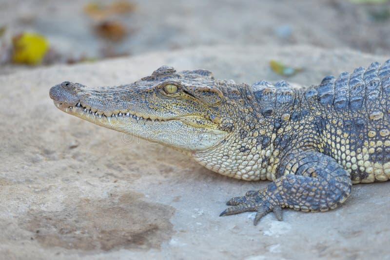 Crocodile d'eau douce siamois Crocodiles se reposant ? la ferme de crocodile en Tha?lande photographie stock
