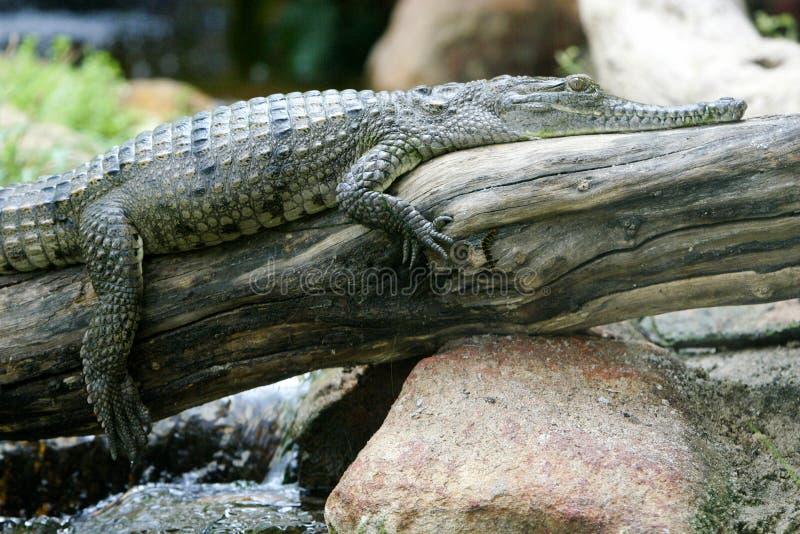 Crocodile d'eau doux photographie stock