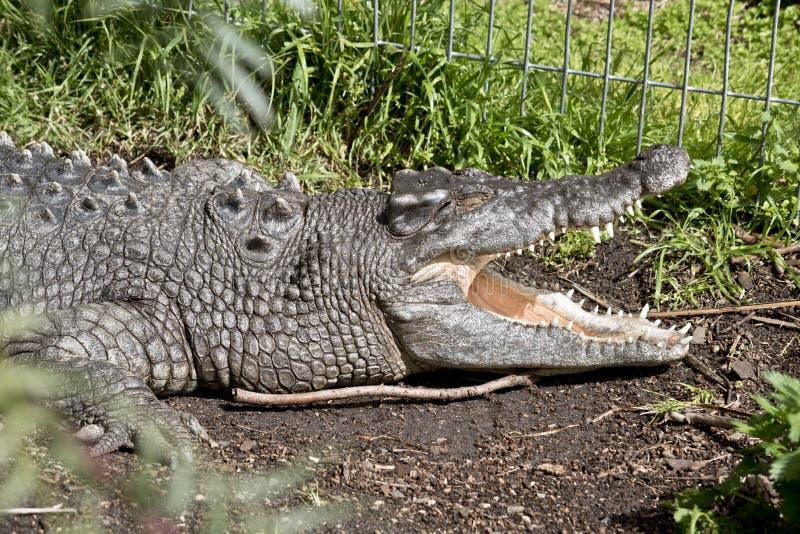 Crocodile d'eau salée photographie stock