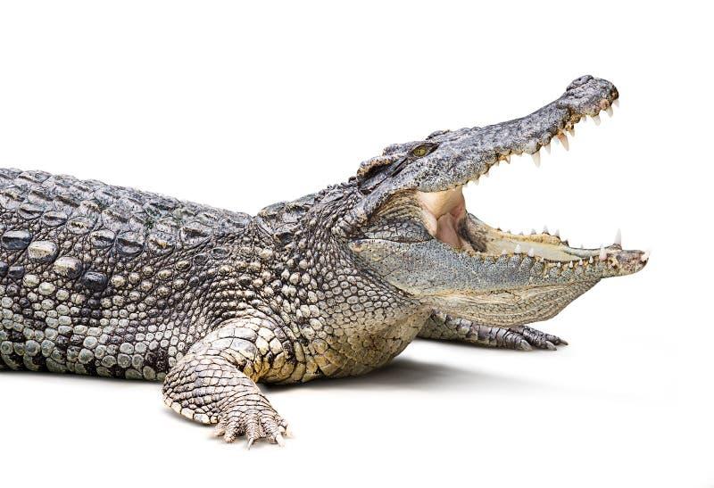 Crocodile d'isolement photographie stock libre de droits
