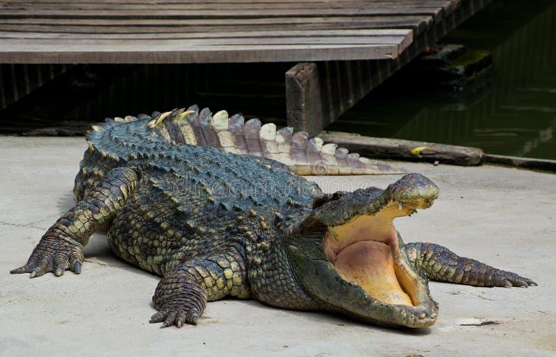 Crocodile dangereux photo libre de droits