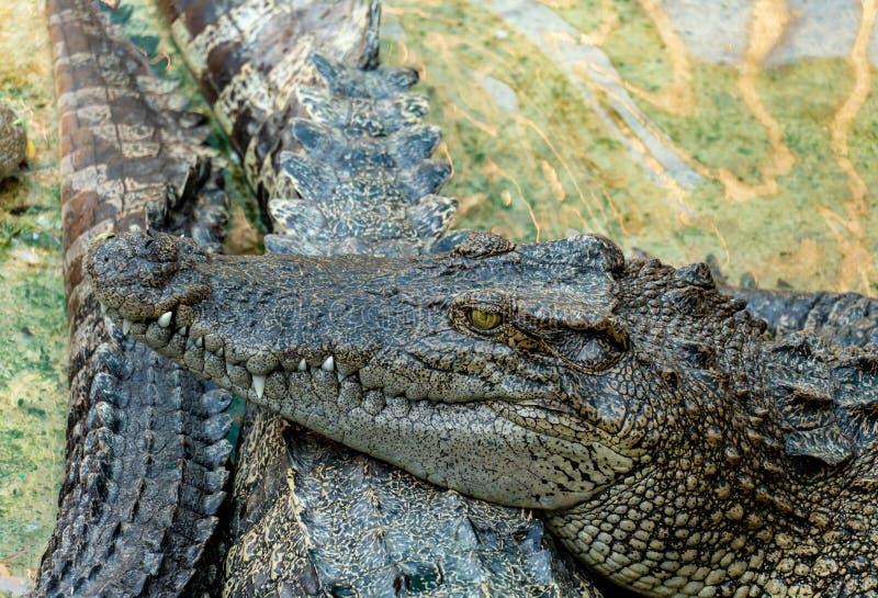 Crocodile dans la ferme photo stock