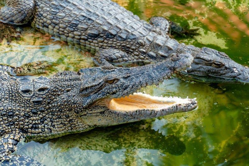 Crocodile dans la ferme photo libre de droits