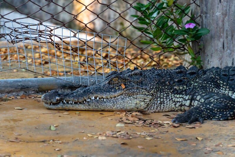 Crocodile dans la ferme photographie stock libre de droits