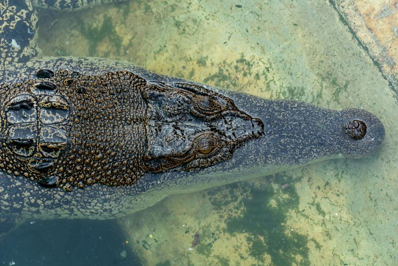 Crocodile dans la ferme images libres de droits