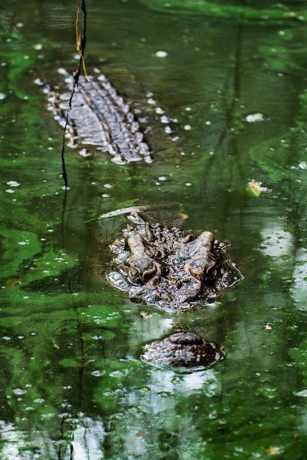 Crocodile dans le marais image libre de droits