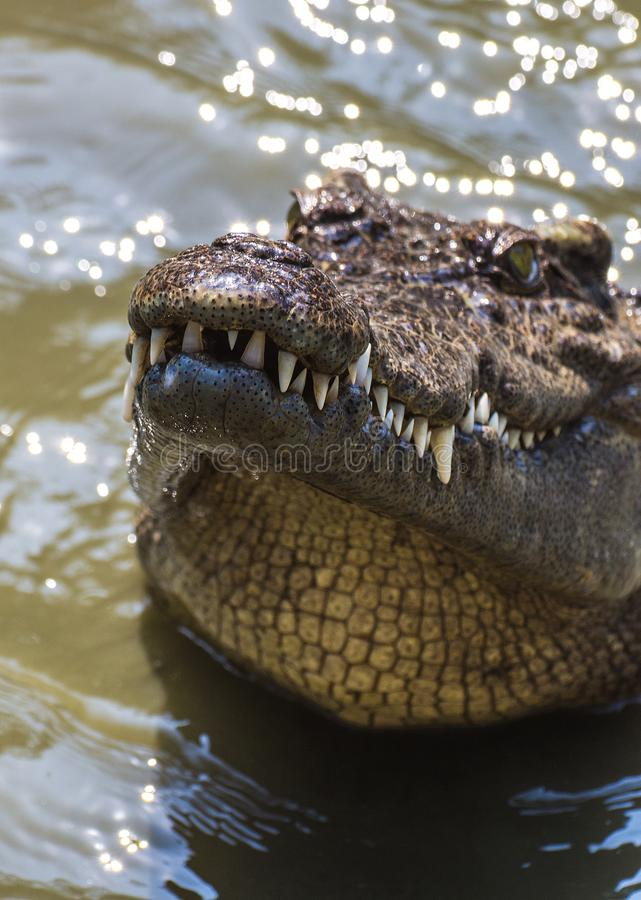 Crocodile dans le marais photographie stock libre de droits