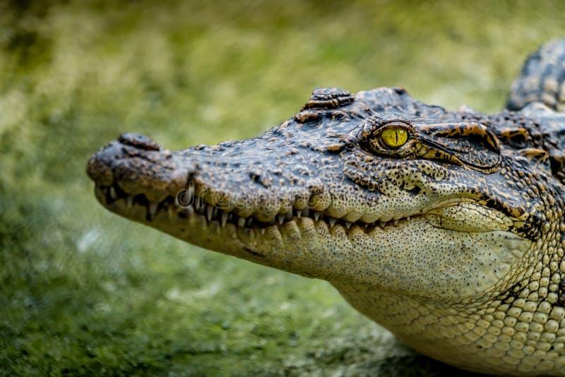 Crocodile dans le zoo images libres de droits