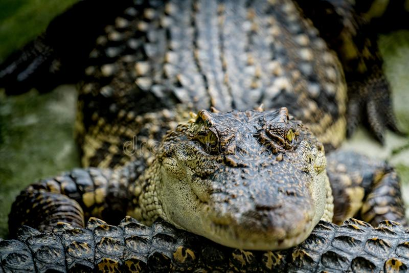 Crocodile dans le zoo image stock