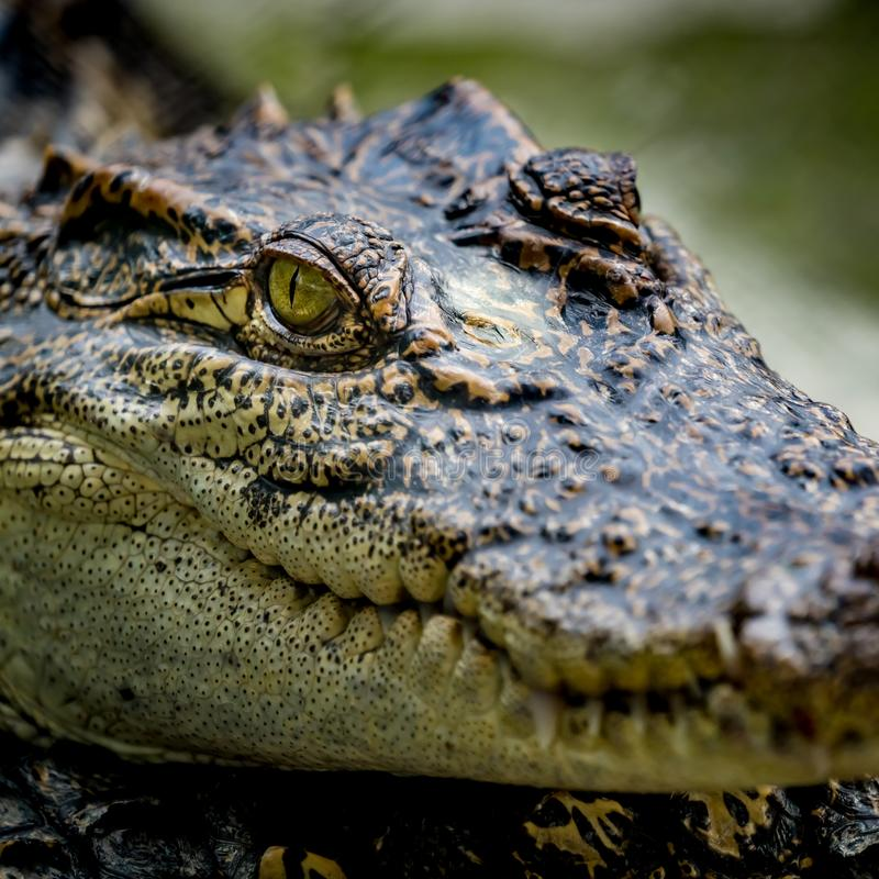 Crocodile dans le zoo photos libres de droits