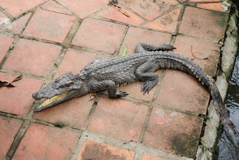 Crocodile dans le zoo avec la bouche ouverte photographie stock libre de droits
