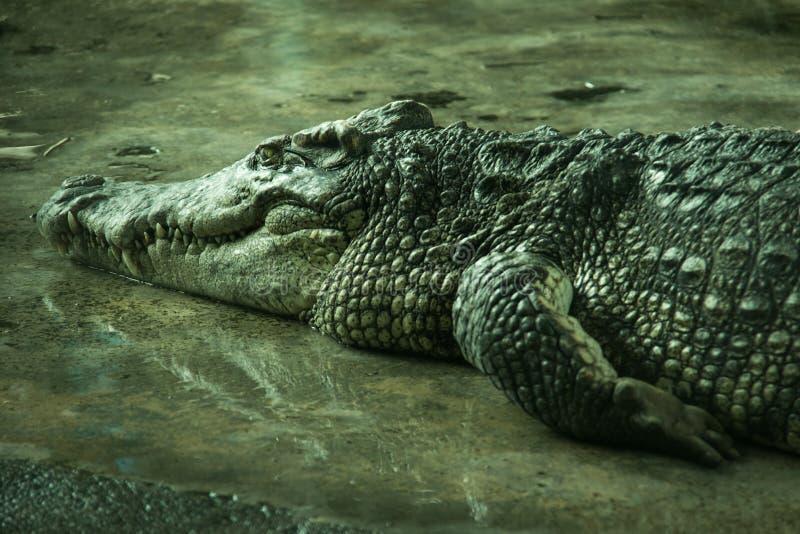 Crocodile dans une ferme image stock