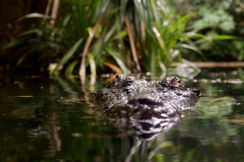 Crocodile de cachette photo libre de droits