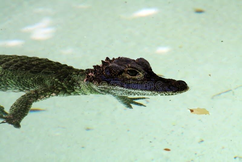 Crocodile de chéri photos libres de droits