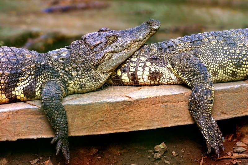 Crocodile de couples images libres de droits