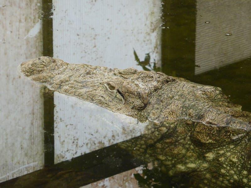 Crocodile de marais regardant le monde photographie stock