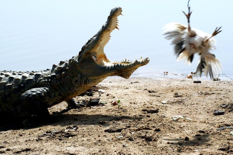 crocodile de poulet image stock