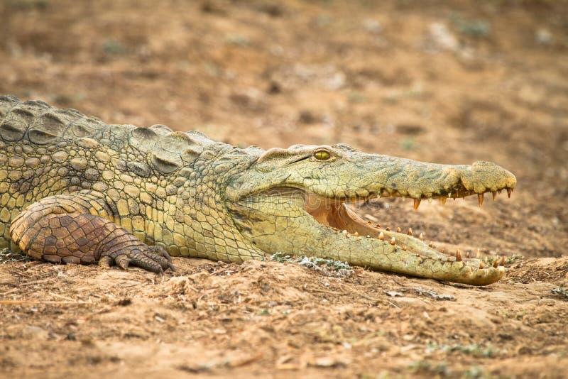 Crocodile du Nil image libre de droits