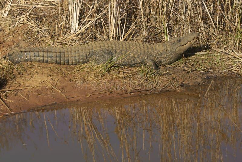 Crocodile du Nil images libres de droits