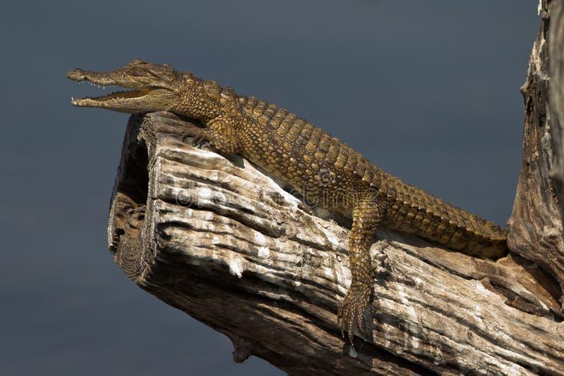 Crocodile du Nil de bébé images libres de droits