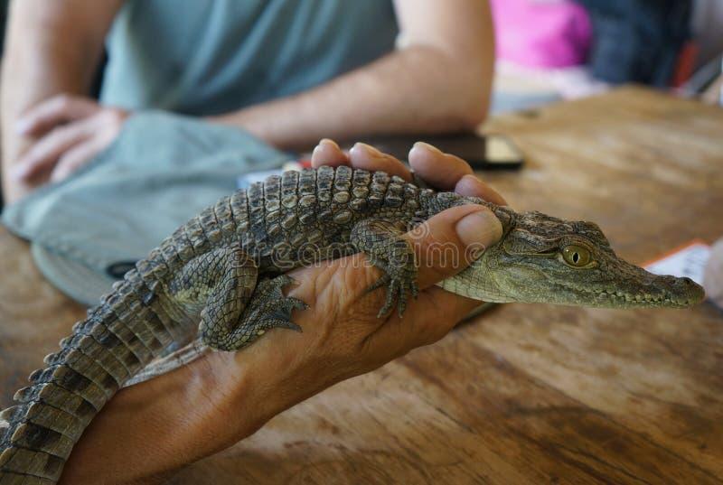 Crocodile du Nil de bébé photographie stock