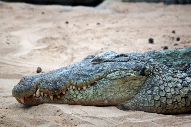 Crocodile du Nil qui se situe dans les yeux de sable ouverts image stock