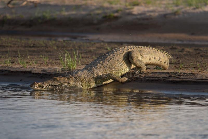 Crocodile du Nil retournant à l'eau dans le rerser de jeu de Selous photo libre de droits