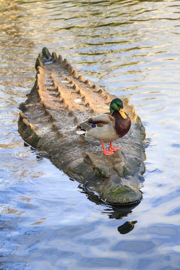 Crocodile ducky stock images