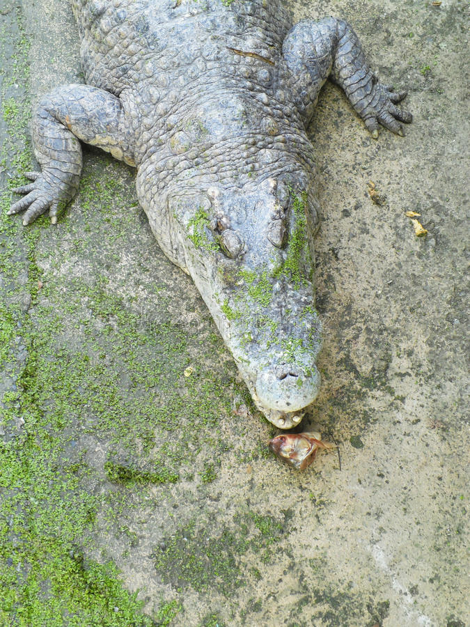 Crocodile eating royalty free stock images