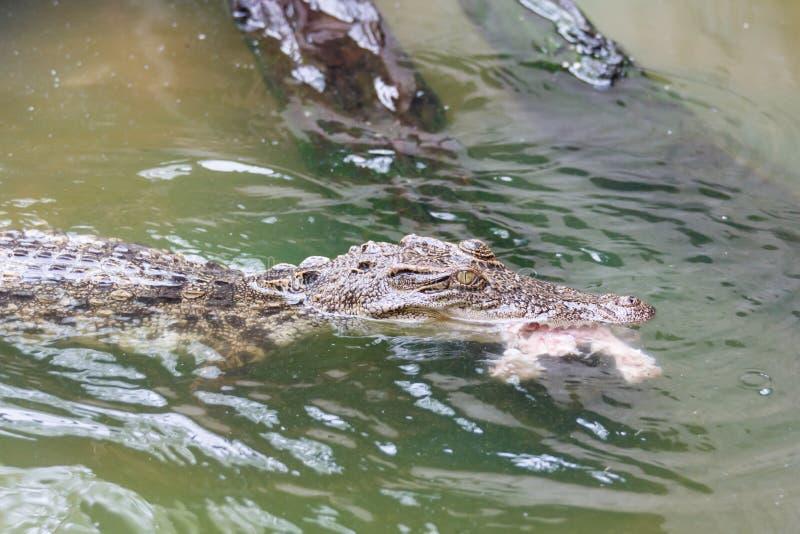 Crocodile eating raw chicken royalty free stock photo