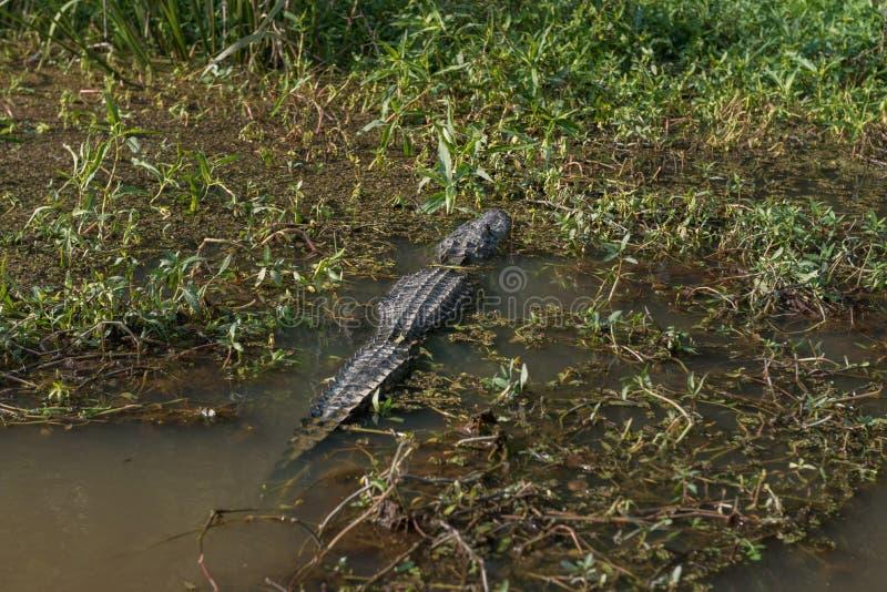 Crocodile et eau et arbre de Honey Island Swamp Tour With à la Nouvelle-Orléans, Louisiane photographie stock libre de droits