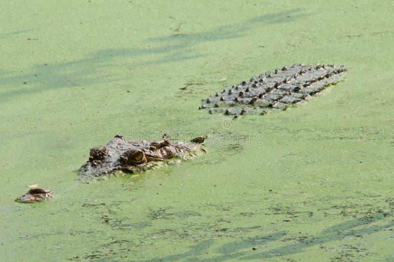 Crocodile féroce photos libres de droits