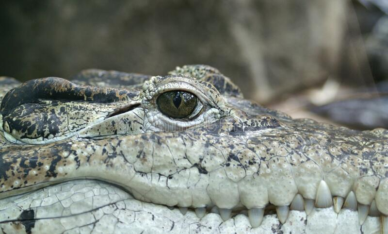 Crocodile Face Close Up stock photography