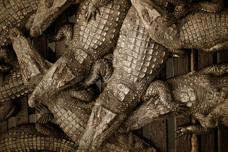 Crocodile Farm royalty free stock image