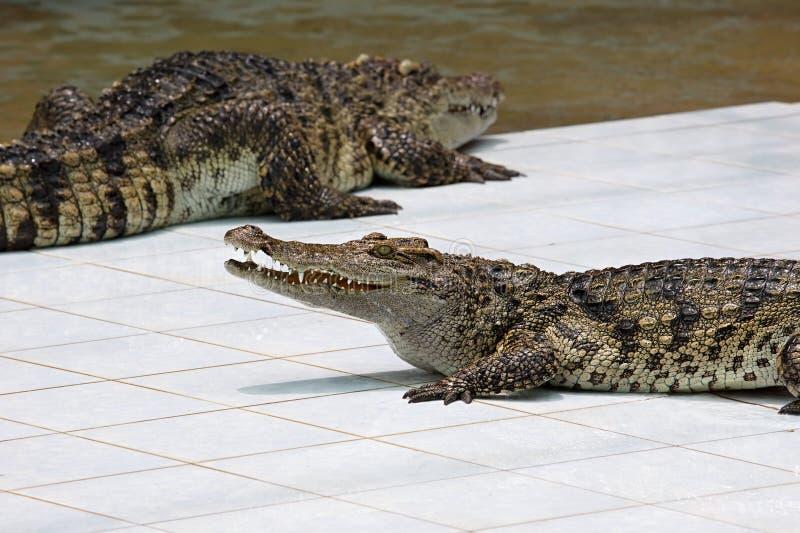 Crocodile on a farm stock photography