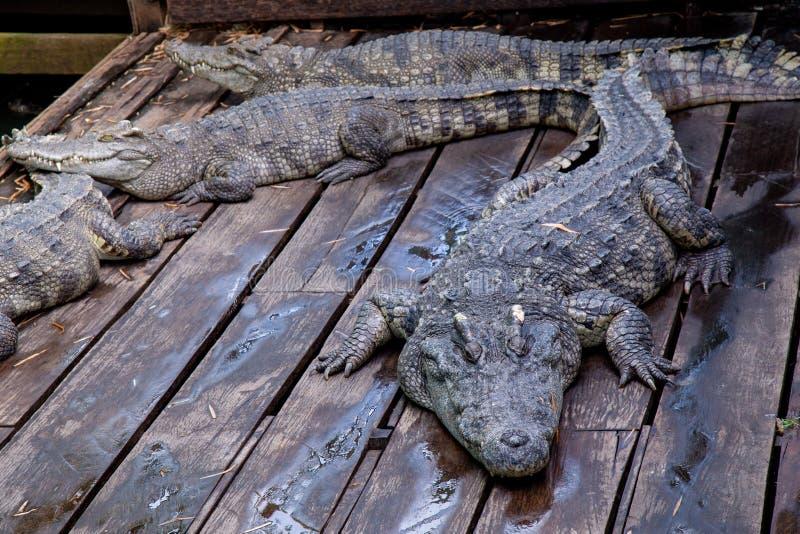 Crocodile at farm in Cambodia royalty free stock photography