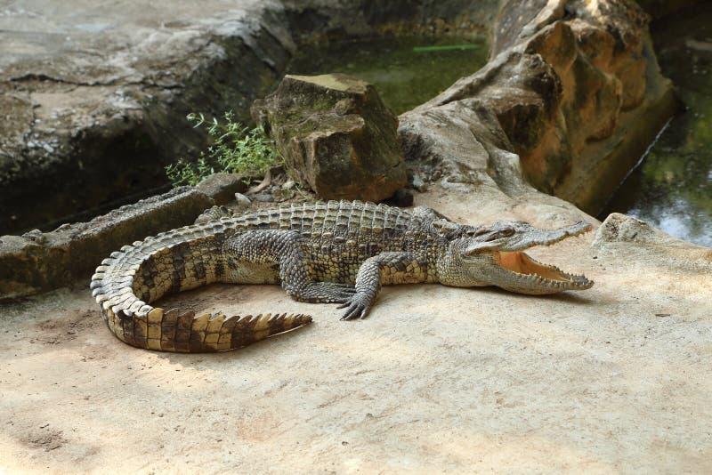 Crocodile on a farm royalty free stock photography