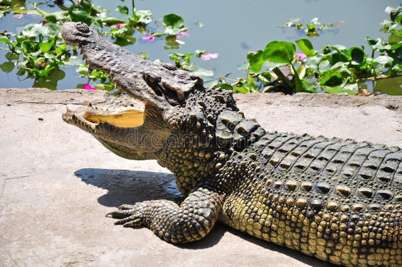 Crocodile Farm in Thailand. stock photography