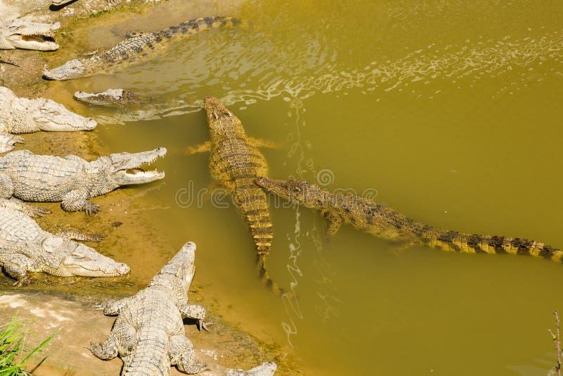 Crocodile Farm Vietnam royalty free stock images