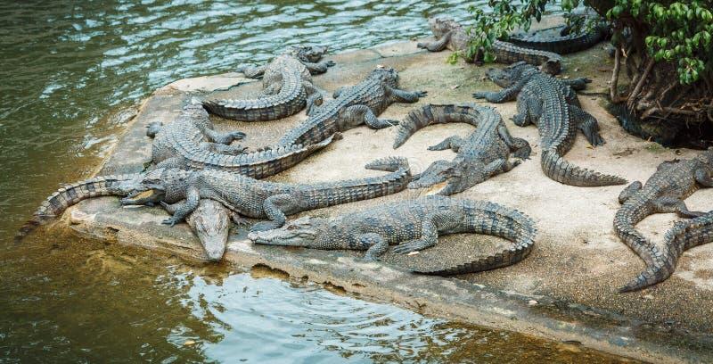 Crocodile farm zoo, crocodiles swim near the lake stock image