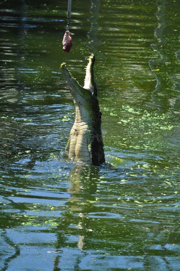 Crocodile Feeding stock photo