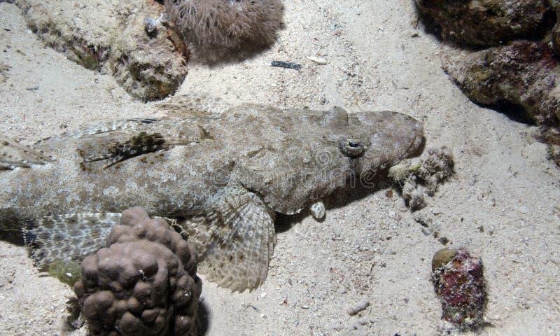 Download Crocodile fish stock photo. Image of tropical, sand, fish - 12946502